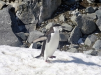 Crazy Penguin Antartica